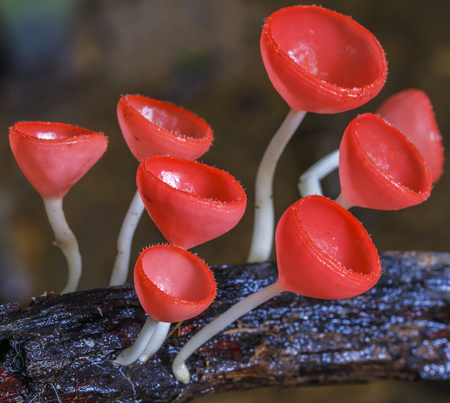 Red cup fungi or Champagne mushroom in rain forest at national park,Thailand  photo