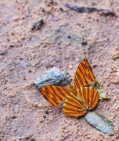 Beautiful butterfly in nature  Pang Sida national park  Sa Kaeo Province, Thailand  photo