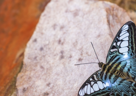 Beautiful butterfly in nature  Pang Sida national park  Sa Kaeo Province, Thailand   photo