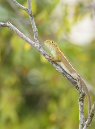 colorful wild lizard  Agamidae  on tree  photo