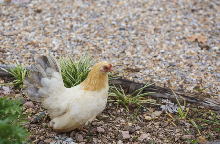 hen finding food among the grass Stock Photo
