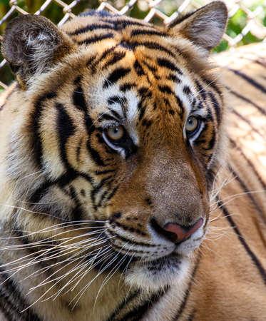Tiger  版權商用圖片
