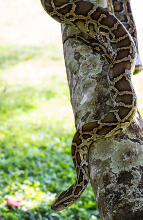 black boa: closeup of a boa snake slithering  the tree