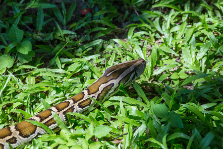 slithering: closeup of a boa snake slithering  the grass