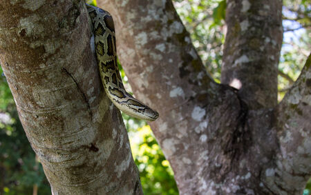 slithering: closeup of a boa snake slithering  the tree