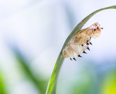 蝴蝶掛在綠葉空蛹