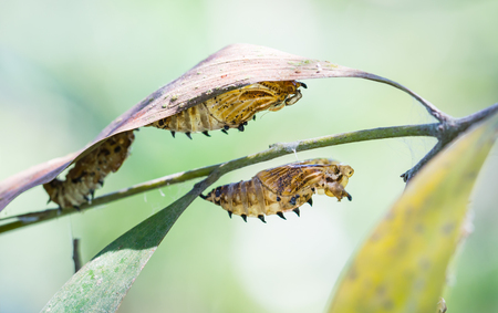 transfigure: the empty chrysalis of butterfly hanging on green leaves