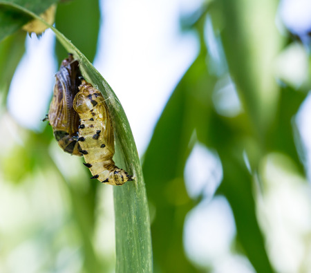 transmogrify: butterfly cocoon and the empty chrysalis of butterfly on green leaves Stock Photo