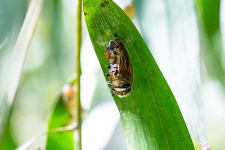 transmute: capullo de mariposa colgando de las hojas verdes Foto de archivo