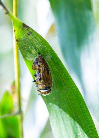 transmogrify: butterfly cocoon  hanging on green leaves Stock Photo