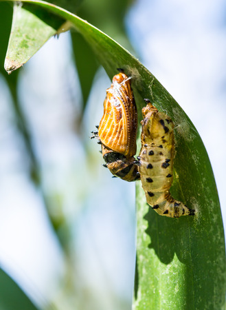 transmute: butterfly cocoon and the empty chrysalis of butterfly hanging on green leaves