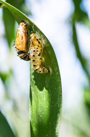 butterfly cocoon and the empty chrysalis of butterfly hanging on green leaves photo