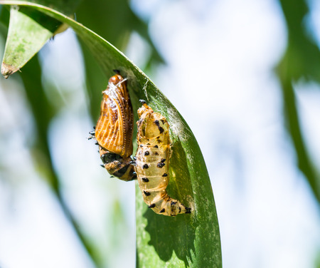 butterfly cocoon and the empty chrysalis of butterfly hanging on green leaves