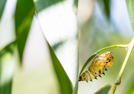 transmute:  the empty chrysalis of butterfly hanging on green leaves Stock Photo