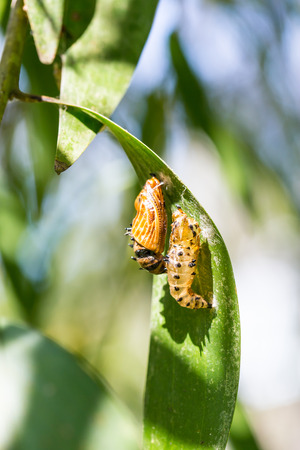 transmogrify: butterfly cocoon and the empty chrysalis of butterfly hanging on green leaves