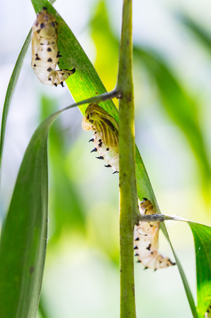transfigure:  the empty chrysalis of butterfly hanging on green leaves Stock Photo