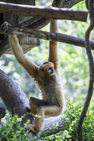 gibbon: white-handed gibbon