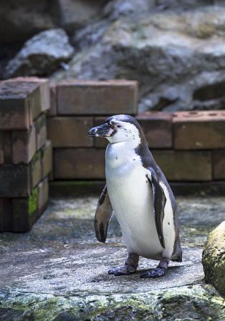 waddling: penguin Stock Photo
