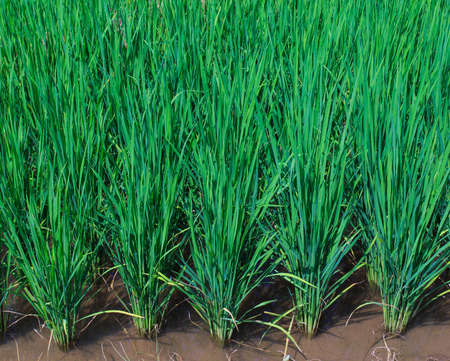 rice growing in field  photo