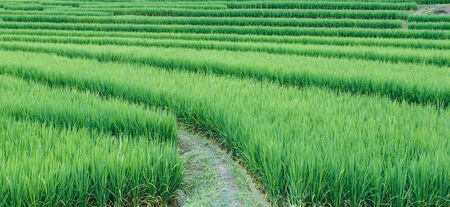 Landscape of the lined Green terraced rice field on the mountain in Chiangmai Province, Thailand photo