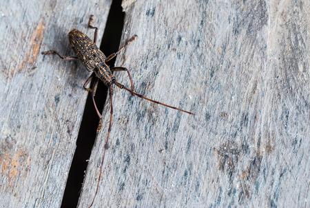 longhorn beetle: longhorn beetle on wood