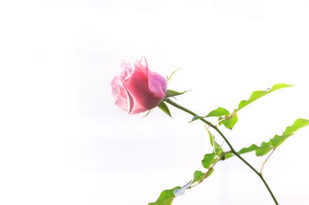 softness: Softness pink rose on white background  Stock Photo