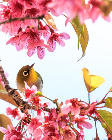white-eye bird on twig of pink cherry blossom  sakura  photo