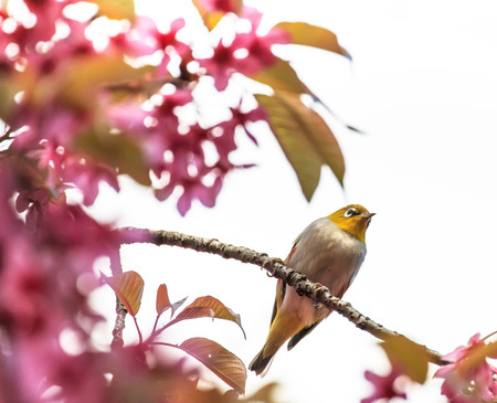 white-eye bird on twig of pink cherry blossom  sakura Stock Photo - 27563297