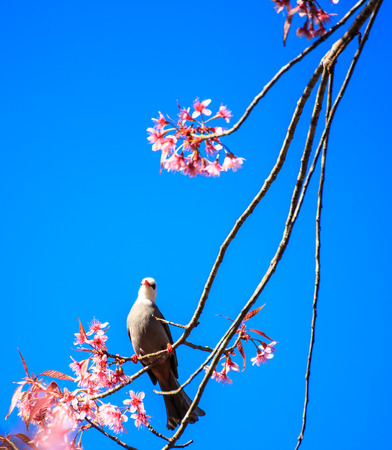 White-headed Bulbul bird  Hypsipetes thompsoni  on twig of sakura background blue sky  photo