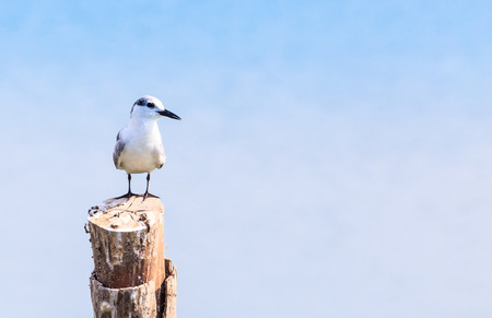 breeding ground: beautiful Brown-Headed Gull  standing on the log
