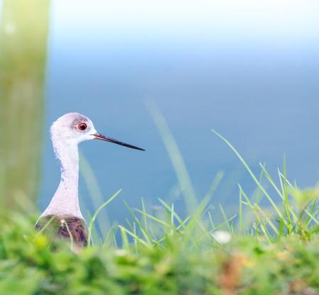 seabirds: Seabirds  marsh sandpiper  Asia Thailand