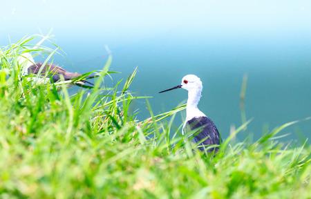 seabirds: Seabirds  marsh sandpiper  Asia Thailand  Stock Photo