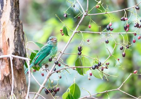 beautiful green-eared barbet photo