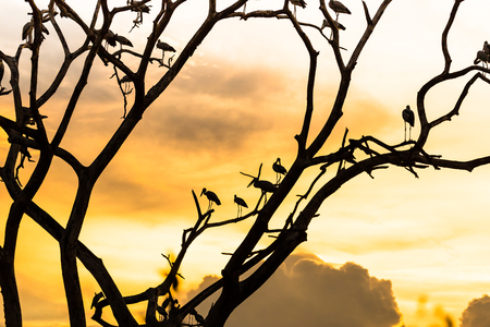 Silhouette of many asian open billed stork birds on a treetop with Colorful background