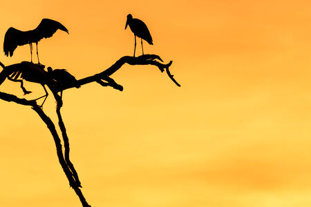 Silhouette of many asian open billed stork birds on a treetop with Colorful background photo