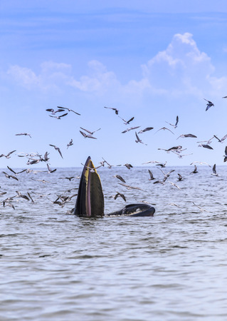 baleen whale: Brydes whale, Edens whale eating fish in the Gulf of Thailand. While many seagulls flying around. Stock Photo