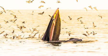 Brydes whale, Edens whale eating fish in the Gulf of Thailand. While many seagulls flying around. photo