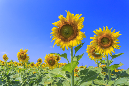 Beautiful sunflowers in the field over blue sky and bright sun lights photo