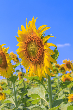 Beautiful sunflowers in the field over blue sky and bright sun lights