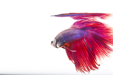 splendors: Style of colorful beauty Siamese Fight Fish on white background