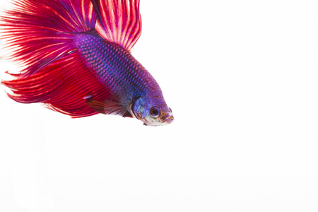Style of colorful beauty Siamese Fight Fish on white background