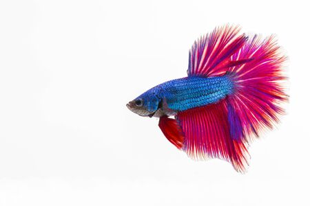 splendors: Style of colorful beauty betta fish on white background