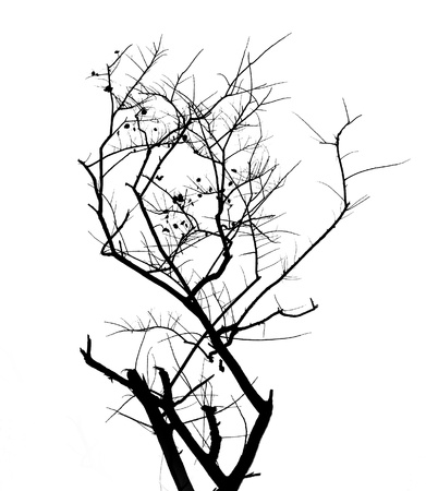 withered: withered branch tree silhouette  Stock Photo