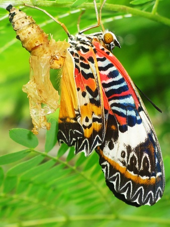 transmute: Butterfly Chrysalis Stock Photo