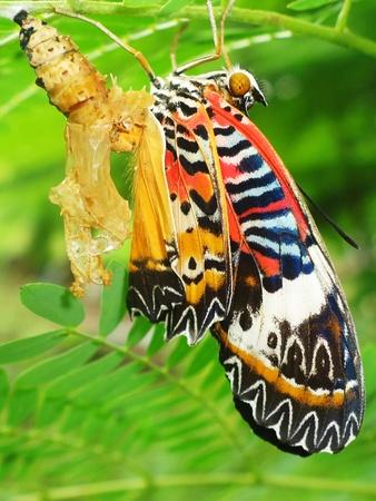 metamorfosis: Chrysalis Butterfly Foto de archivo