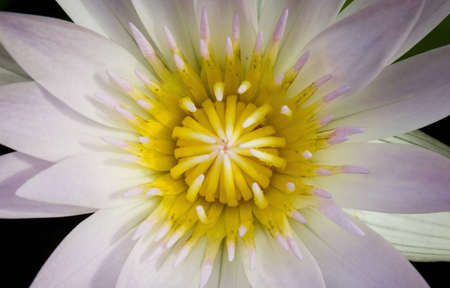 Violet lotus flower photo