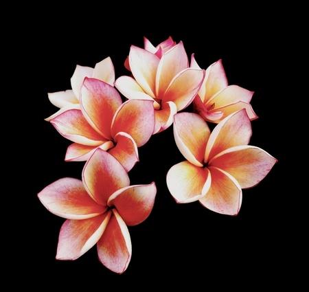 plumeria on a white background: Glorious frangipani or plumeria flowers Stock Photo