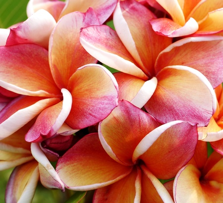 Glorious frangipani or plumeria flowers Stock Photo
