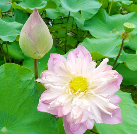 lotus bloom in the pond Stock Photo - 13120308