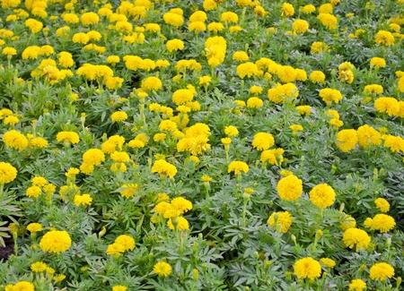 Creeping Wedelia field, little yellow star flowers